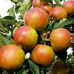 holsteiner cox ehlers apple carolus