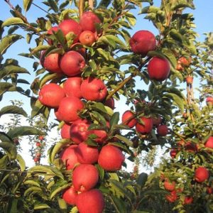 joly red apple carolus