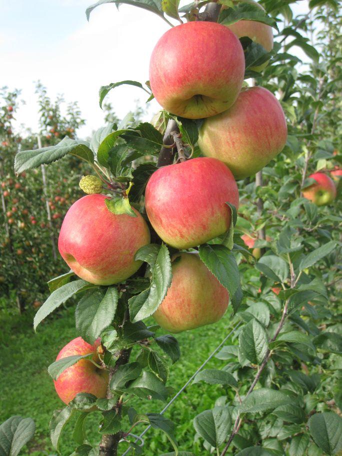 makali apple carolus