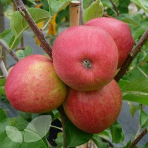 pinova apple carolus