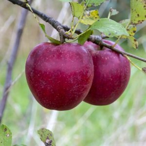 red ingrid apple carolus