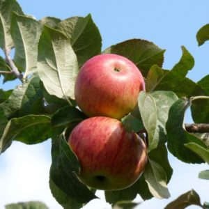 boskoop apple carolus