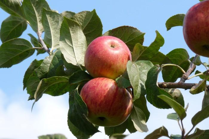 boskoop apple carolus
