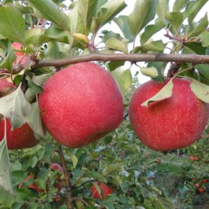 szampion apple carolus