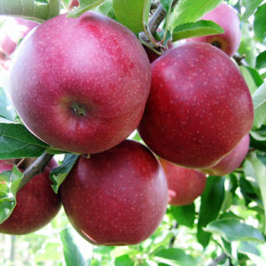 wiltons apple carolus