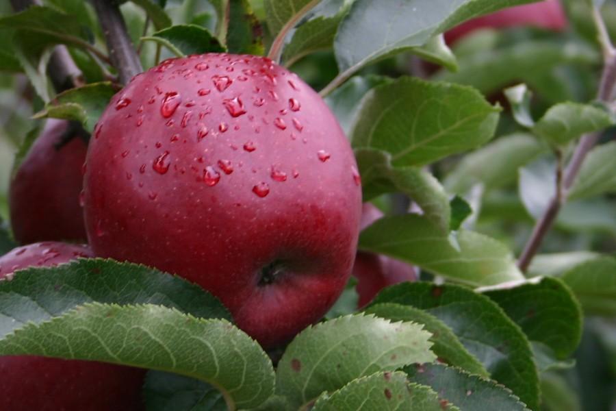 wiltons appel carolus