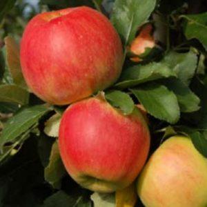 zonga appel carolus