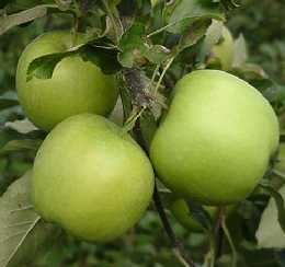 greenstar apple carolus