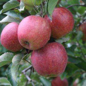 jonagored apple carolus