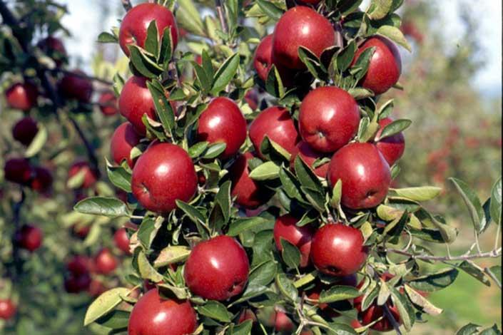 maririred apple carolus