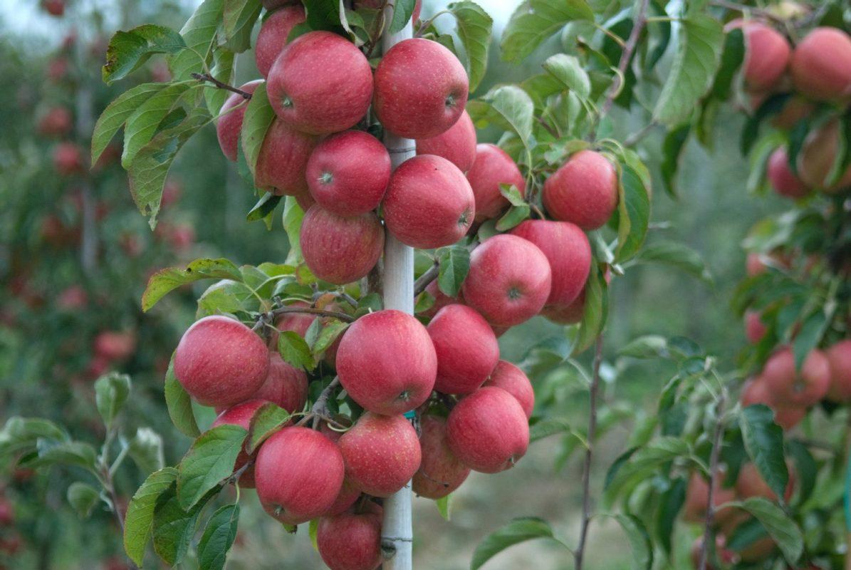 roho apple carolus