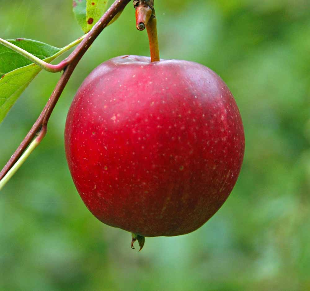 summer red apple carolus