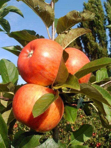 topaz appel carolus
